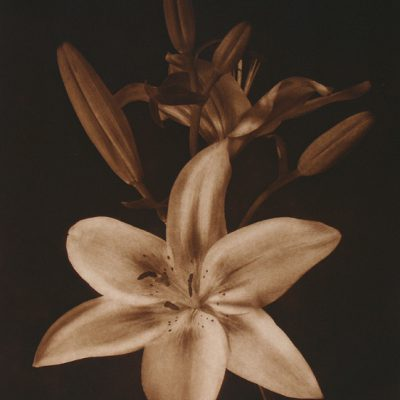 Enchantment Lily III
